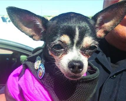Miniature K-9 is Well-Loved Helper in Corrales D.A.R.E. Program